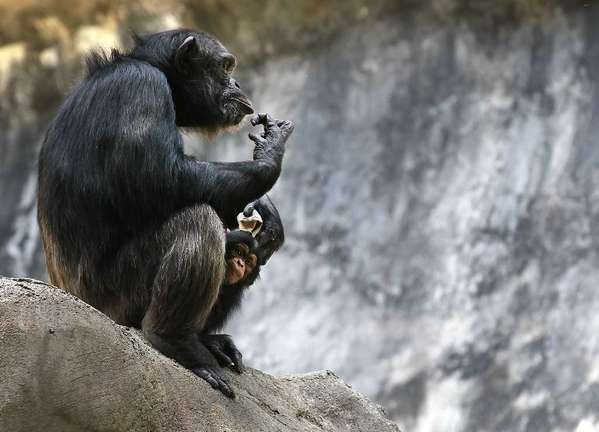 A chimpanzee adult and baby at the Los Angeles Zoo. Chimpanzees can pick up improved tool use from their peers, according to a study in PLoS ONE -- lending support to the idea that they may have the capacity for culture.
