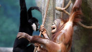 Gibbon and orangutan meet, hang at Brookfield Zoo