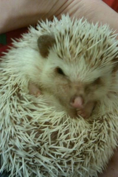 Jennifer Smith's hedgehog Valkyrie will appear Sunday in Animal Planet's Puppy Bowl.