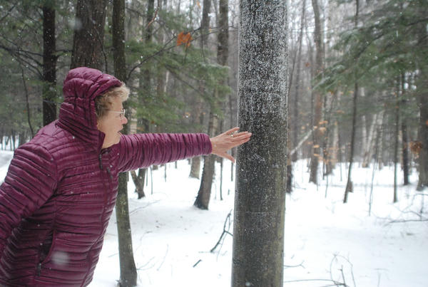 Ann Wilderom rubs at some beech scale on a heavily-infested beech tree on the Wilderoms property in Harbor Springs.