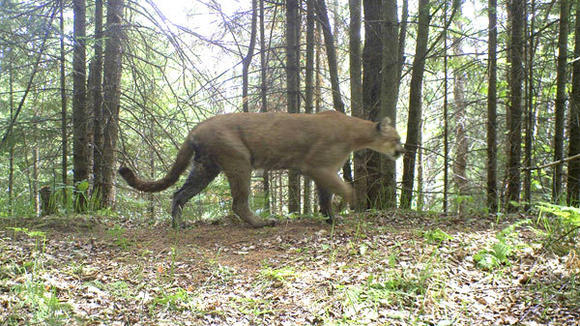 This trail camera photo of a cougar was snapped June 1, 2012, in Marquette County. The Department of Natural Resources has not confirmed cougars in the Lower Peninsula despite numerous reported sightings