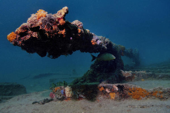 Soft coral covers a beam from the wreckage of the SS Copenhagen on the ocean floor off of Pompano Beach.