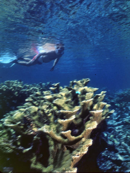 Snorkeler with an Elkhorn coral at Key Biscayne National Park.