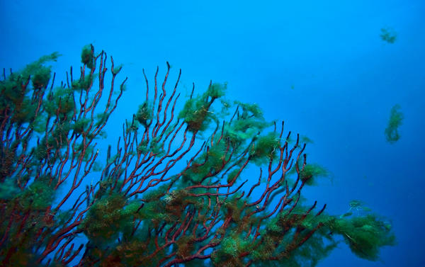 "Cladophora Liniformis clings to a Gorgonian soft coral on Honeycomb reef near the Boca Raton inlet. Dropping  from the dive boat ""Diversity"" a Harbor Branch Oceanographic Institution INC. research team found the reef and the ocean floor near the reef covered with the algae."
