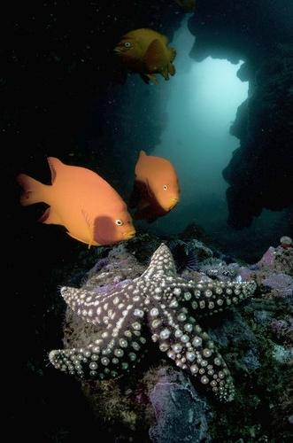 "First place in Under Water category: Curious garibaldi check out a giant-spined sea star at the entrance to ""The Crevice"" at Shaw's Cove."