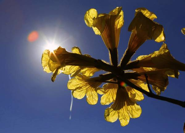 A Tabebuia tree's blooms are highlighted by the morning sun at the Orange County Extension office in Orlando Thursday. Due to an unusually warm January, many plants and trees are blooming early this year.