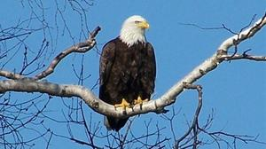 Conservation department seeks killer of bald eagle in southeast Missouri