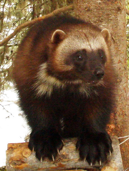 Most wolverines in the lower 48 states live in the northern Rocky Mountains. One has been recorded in the Sierra Nevada in California.