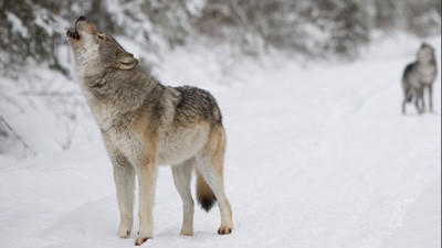 Statewide vote sought on wolf hunt