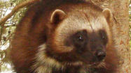 Climate change threatens wolverines; protections proposed