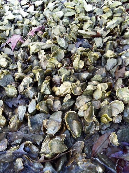 Oysters and shells exposed to air at low tide in Harris Creek, focus of a restoration effort.