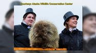 Thanks to the Alaska State Legislature, Alaska celebrates Marmot Day on February 2, which is the Alaska version of Groundhog Day.