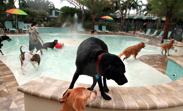 Duke, a black Lab greets a friend while spending  time at Barkeritaville Lagoon, a waterpark for dogs  at the Simmon's vetinary hospital and pet hotel in Lake Worth.