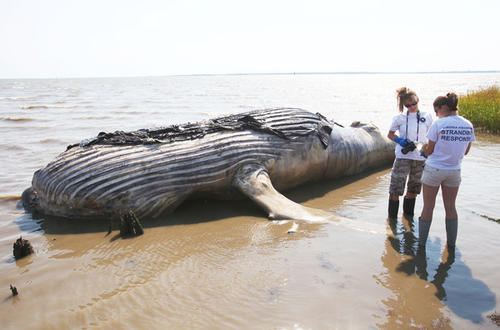 measurements on a dead humpback whale that floated ashore near GuineaDead Humpback Whale