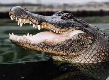 <b>An American alligator</b><br>Everglades National Park rangers warn tourists to stay at least 15 feet away from all alligators and to never feed them under any circumstances.