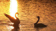 SWANS ON A GOLDEN POND