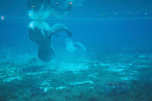 A manatee cow and calf swim at Manatee Springs State Park west of Chiefland.