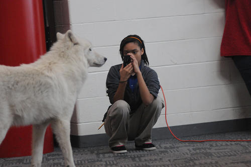 Kenya Ahkeen, 13, of Hartford photographs Atka, a 10 year old artic gray wolf who visited the Capitol Region Education Council (CREC) Two Rivers Magnet Middle School Wednesday afternoon.