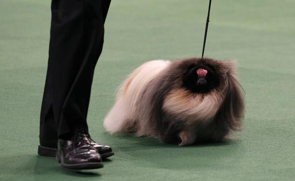Malachy, a Pekingese, walks with owner and handler David Fitzpatrick during competition before he won Best In Show at the 136th Westminster Kennel Club Dog Show in New York's Madison Square Garden, February 14, 2012.