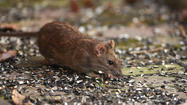 Baltimore County's rat eradication program has treated more than 2,100 homes, and more efforts are planned for later this month, county officials said Thursday.