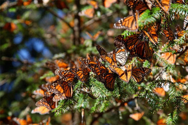 "Monarch butterflies are the stars of IMAX's ""Flight of the Butterflies."""