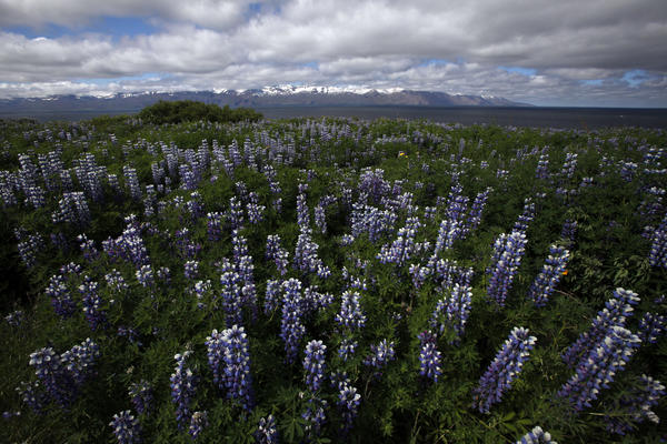 Alaskan lupins in northwest Iceland.