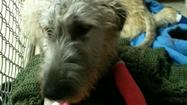 Chloe, an 8-month-old Irish wolfhound the Aberdeen Area Humane Society is helping, is now recovering from surgery.