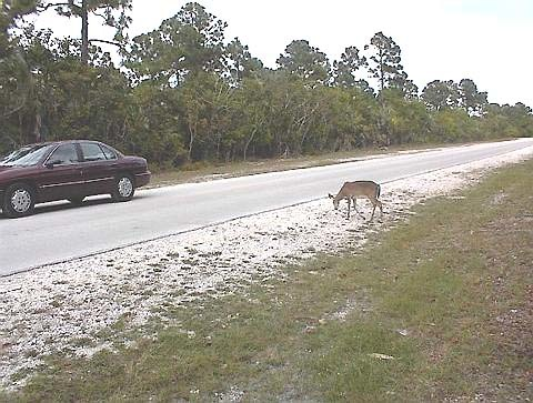Florida Getaways of the Day - <b>Big Pine:</b> Wild encounters in the Keys