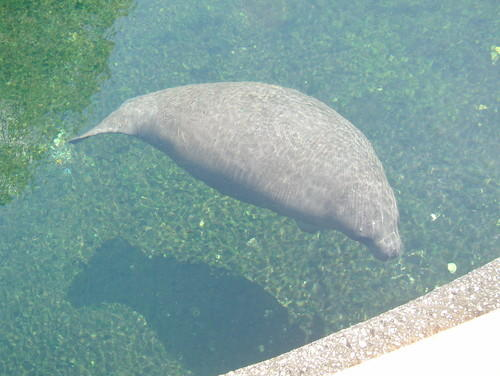 Manatees are in the swimming hole at Wekiwa Springs, appearing there for the first time in memory and made possible by Fay's rains. Ordinarily, Wekiva River waters are shallow in many places, making it impossible for manatees to swim 17 miles upstream from the deeper St. Johns River to the spring boil.