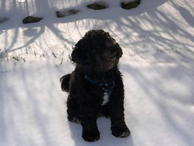 Oreo, a cockapoo owned by Tammie Jesperger of Salisbury Township, was attacked and severely injured by a pit bull Monday afternoon. A police officer shot the pit bull to death.