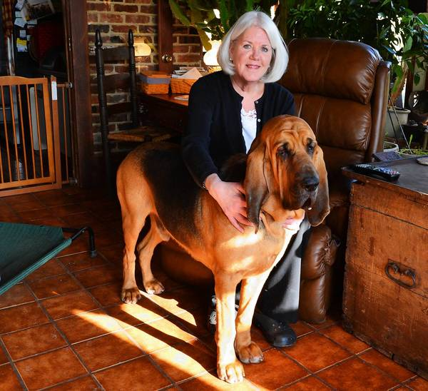 Martha Thompson of Kintnersville will be showing her 3-year-old bloodhound Earl for the first time at the 137th Westminster Kennel Club Dog Show in New York City.