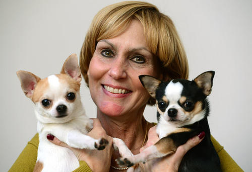 "Connie Newcomb of South Whitehall Twp. has been showing her Chihuahuas at the Westminster Kennel Club Dog Show for the last 5 years and has written a book about how she got into the dog show circuit, ""Dog Show Confidential: Sneaking in the Back Door of Westminster'."