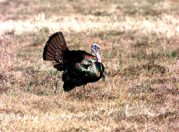 Youth Spring Turkey Hunt, all weapon categories: Feb. 23-24, Zone A; March 9-10, Zones B,C and D. Spring Turkey Season, all weapon categories: March 2-April 7, Zone A; March 16-April 21, Zones B, C and D (except Holmes County); March 16-31, Holmes County. All except Holmes County--Daily bag limit is one. Season and possession limit is two for spring season. Holmes County--Daily bag and season limit is one.