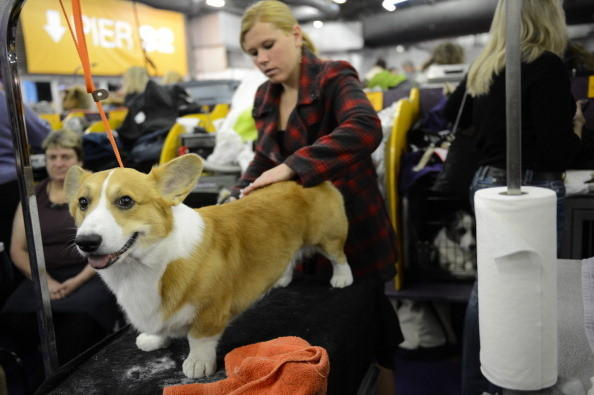 137th Westminster Kennel Club Dog Show: Im a corgi and you know Im the cutest.