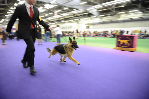 137th Westminster Kennel Club Dog Show: Wheee, Im a German Shepherd!
