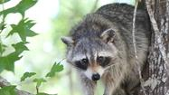 2013 Florida Hunting and Fishing Guide: Raccoon, opossum, coyote, beaver, skunk, nutria