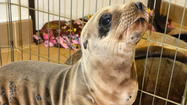A trend of sea lion pups becoming malnourished along the Orange County coast has led to an uptick in the number of animals admitted to a local marine mammal center, according to experts.