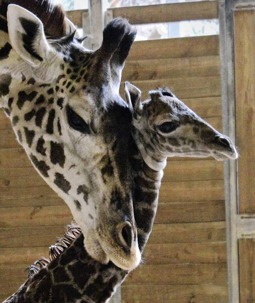 Johari and her new calf get acquainted at the Brevard Zoo in Melbourne.