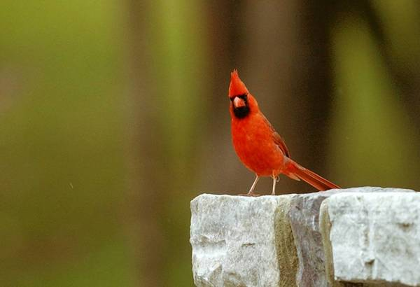 People will count cardinals and other species of birds in the four-day Great Backyard Bird Count that begins Friday. This cardinal was seen in Allentown's Trexler Park in 2005.