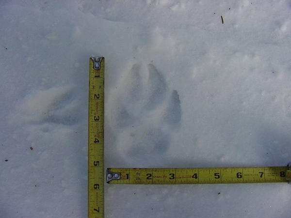 The Michigan Department of Natural Resources will survey for wolf tracks and other signs of wolves across the northern Lower Peninsula.