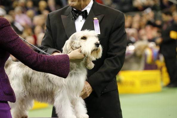 137th Westminster Kennel Club Dog Show: Petit Basset Griffon Vendeen