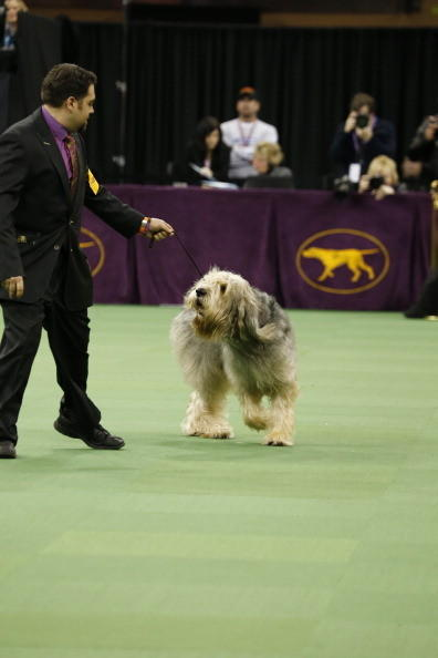 137th Westminster Kennel Club Dog Show: Otterhound