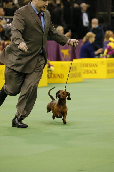 137th Westminster Kennel Club Dog Show: Smooth Dachshund