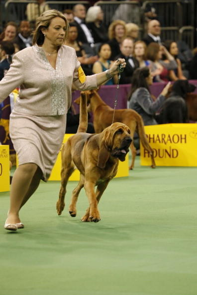 137th Westminster Kennel Club Dog Show: Bloodhound