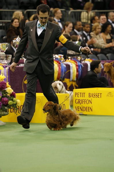 137th Westminster Kennel Club Dog Show: Longhaired dachshund