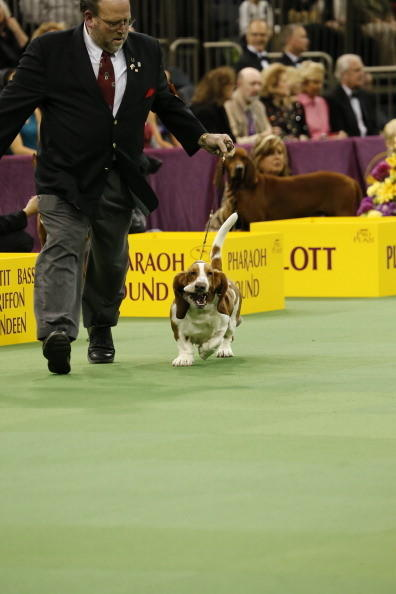 137th Westminster Kennel Club Dog Show: Basset Hound