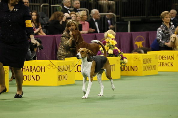 137th Westminster Kennel Club Dog Show: American Fox Hound