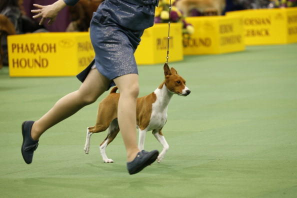 137th Westminster Kennel Club Dog Show: Basenji
