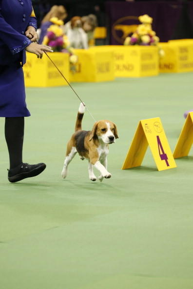 137th Westminster Kennel Club Dog Show: Beagle, 13 inches