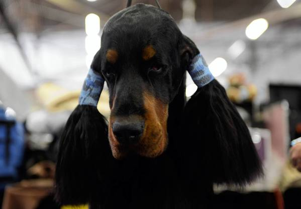 Teddy, a Gordon Setter, is groomed before judging at the Westminster Kennel Club Dog Show.